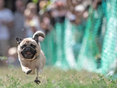 Emma wins the title of world's fastest pug for the third year running