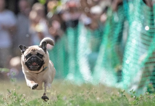 A pug dog competes in a race at the 9th international pug dog meeting in Berlin-Lichtenrade Saturday, Aug. 18, 2018. (Paul Zinken/dpa via AP)