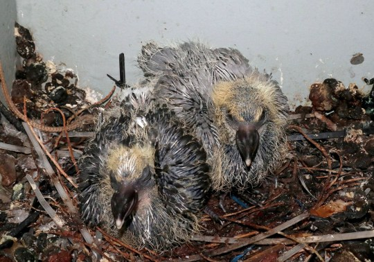 """Undated handout photo issued by the Ministry of Defence of two baby pigeon chicks, which have been flown back ashore to be looked after by the RSPCA, after they stowed away onboard the Royal Navy aircraft carrier HMS Queen Elizabeth. PRESS ASSOCIATION Photo. Issue date: Tuesday August 21, 2018. The chicks, nicknamed """"carrier pigeons"""" by the crew, were discovered in a hidden nest on Britain's biggest warship soon after it had left Portsmouth Naval Base on Saturday. See PA story DEFENCE Pigeon. Photo credit should read: LPhot Kyle Heller/Ministry of Defence/PA Wire NOTE TO EDITORS: This handout photo may only be used in for editorial reporting purposes for the contemporaneous illustration of events, things or the people in the image or facts mentioned in the caption. Reuse of the picture may require further permission from the copyright holder."""
