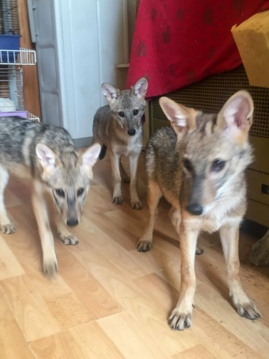 "Pic Shows: The three jackals, Alfa, Rea and Kia; An animal rights activist was shocked to discover puppies that she was asked to look after were actually jackals. The woman, identified only by her first name Marina, works for the animal protection organisation ""Faun from Kutina"", located the city of Kutina in central Croatia. She said that four months ago they had been told the box of puppies had been dumped in a field and they believed that the five babies inside were Belgian shepherd dogs. They started raising them, and posted images online where netizens noted that every day the puppies seemed less like dogs. Two of the puppies died, but three survived and concerned about the speculation, Maria contacted AWAP which is a local organisation involved in the protection of wild animals, when they were identified as jackal cubs. By the time the status of the puppies was confirmed, they had already spent too much time in human company to ever be released back into the wild. After much speculation about whether they should be handed over to a zoo or kept in human company, they finally decided the latter and Marina was able to get official permission to become the first person in the country to keep jackals as pets. All three of the surviving cubs are female, and according to Marina they have been given names which match their personalities. She said Alfa is the leader of the pack, when she eats the other two stay out of her way. Rea in contrast loves to explore and steal things. She can be found in the kitchen cabinets or stealing mobile phones, slippers and toilet paper. Kia can get trough any hole and climb wherever she has set her mind to just to get what she wants. The pictures are now being shared to help bring people closer to jackals and show that they are not dangerous or vermin. Marina said that the cubs still love to be petted, love to play and have shown no opposition to domestic lives and even answer to their own names already."