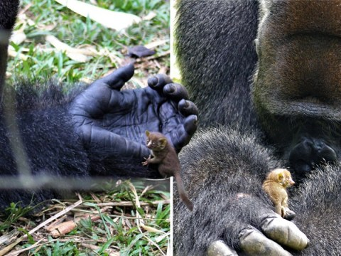 This is what happens when a 25st gorilla meets a bush baby the size of its finger