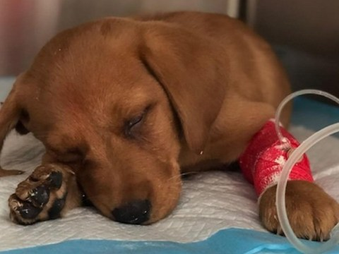 Disease that kills puppies sweeping Britain because of 'cheapskate breeders'