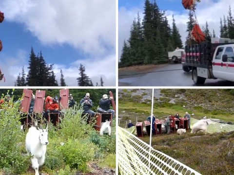 Hundreds of goats are airlifted off their mountain to stop them causing chaos