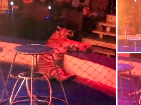Tiger fits and collapses after being forced to jump through ring of fire