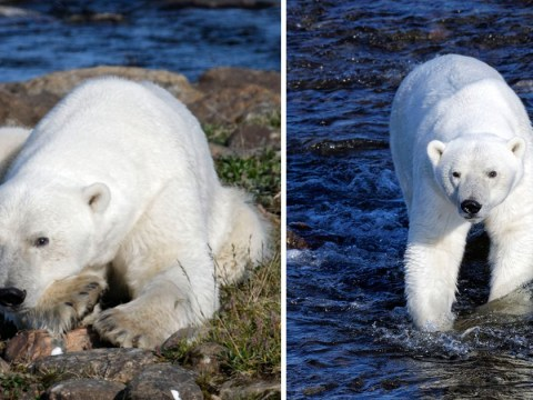 Images give glimpse of how polar bears may exist without snow one day