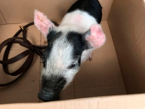 Man who 'felt sorry' for pig is fined for having it outside nightclub