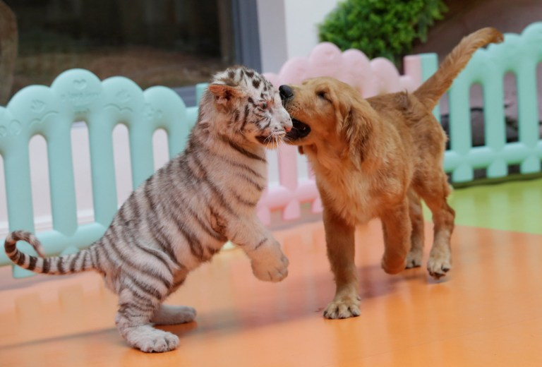 Golden retriever mothers tiger, hyena and lion cubs at