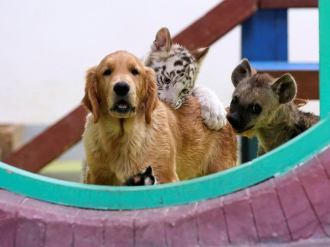 Golden retriever mothers tiger, lion and hyena cubs at Chinese zoo