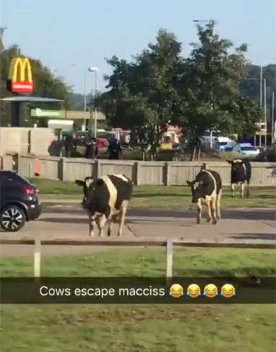 Cows on the loose outside McDonalds (Picture: Adam Mason)