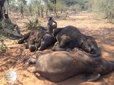 Bodies of 87 elephants found in Botswana after being killed for tusks