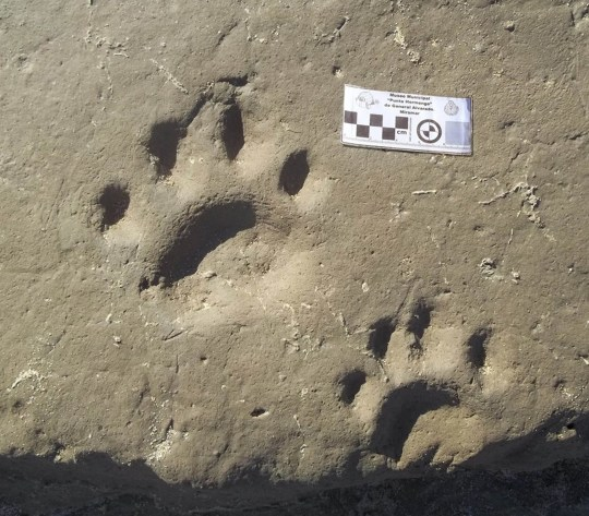 """Pic shows: The fossil tracks discovered in the archaeological site. Scientists in Argentina have discovered rare fossilised footprints of a sabre-toothed tiger thought to be over 30,000 years old. A team of palaeontologists made the discovery in the seaside resort of Miramar, 450 kilometres (279 miles) south of the capital, Buenos Aires. The ground-breaking discovery was found close to the current urban centre, in the heart of the tourist district. Miramar has been renowned since the nineteenth century as an exceptional location for paleontological discoveries. However, this is the first time such footprints have ever been found. Palaeontologist Federico Agnoli said: """"In our country we have found many sabre-toothed tiger teeth but they have always been skeletal remains. Although the bones give data, they don???t tell you how the animal walked, and how it lived. The prints give much more information."""" Agnoli explained that the plains which extend south from Buenos Aires were very different to those we can see today. The landscape consisted of extensive scrub prairie, and coastal lagoons. It was inhabited by long extinct giant mammals such as the hippo-sized toxodon, ancient armadillos known as glyptodons, enormous land sloths, horse-like creatures known as macrauchenia, giant rodents and birds as high as a metre tall (2.9 feet.) The palaeontologists from the University of Punta Hermengo, the Azara Foundation, the Municipal Museum of Miramar, the Argentinian Natural Science Museum, and the National Council for Scientific and Technological Research were able to extract valuable information from the prints, which are 30 centimetres (11.8 inches) in diameter. Agnoli said: """"The prints show that the animal was adapted to walking long distances across the scrub prairie. They also show that the front legs were wide and robust. This occurs in animals that are not great sprinters, but instead wait in hiding ready to ambush a large mammal. They would pounce on their prey"""