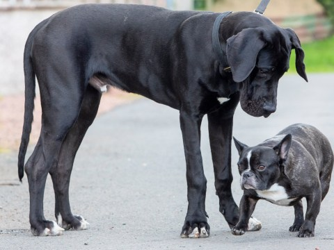 Family adopt Arnie, 'Britain's biggest puppy', who weighs 95lbs