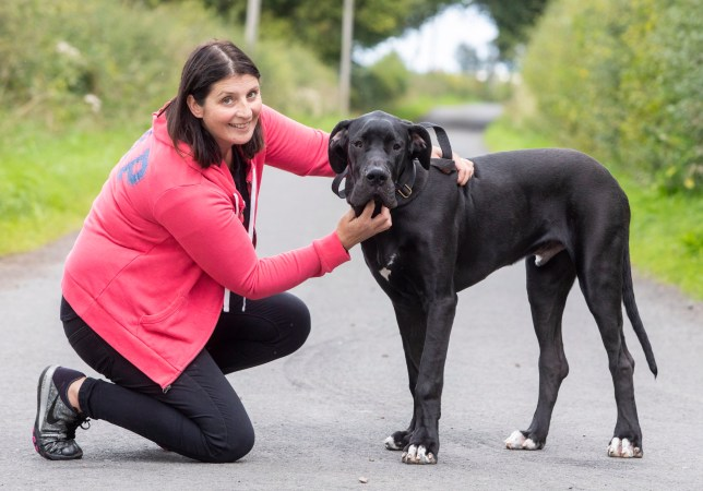 Adopted five-month-old Great Dane puppy Arnie who weighs in at a whopping 43kg (95lbs), with his owner Julie Reid. See CENTRE PRESS story CPDOG. A family has adopted Britain's biggest PUPPY - a real-life Scrappy-Do that is over 6ft and weighs more than a baby HIPPO. Arnie the Great Dane is only five months old and tips the scales at a whopping 43kg (95lbs) - and is still growing. The massive canine is the biggest the team at Dogs Trust in Glasgow have ever cared for. But now a family have fallen in with love and decided to adopt him - even though he dwarfs all of them when he stands on his hind legs.