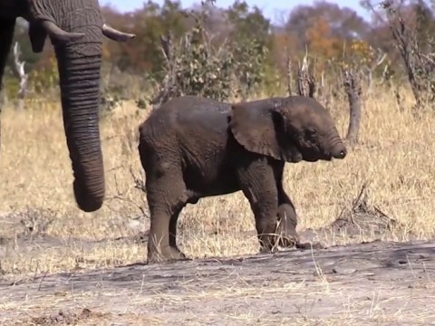 Baby elephant without a trunk is unlikely to make it to adulthood