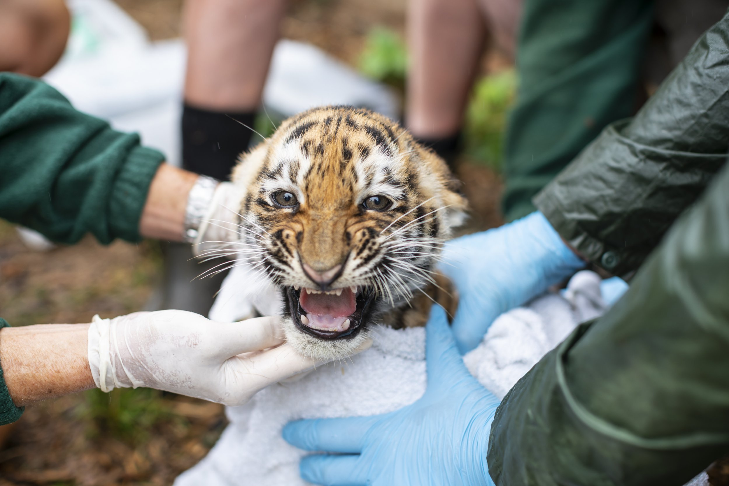 Really angry tiger cubs get their first health checkup at Whipsnade Zoo picture; ZSL SUPPLIED TO metro.co.uk https://zslondon.sharefile.com/share/view/s5ee361e69244e13a