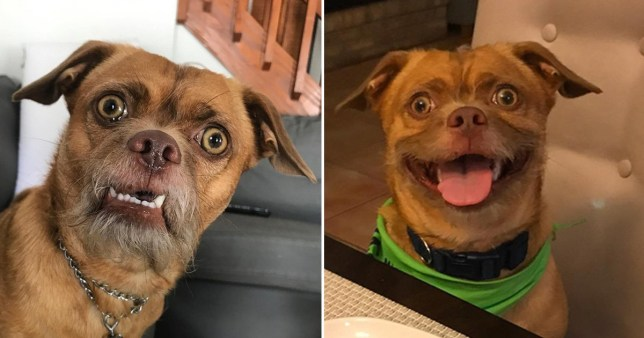 Dog has the most expressive face on Instagram Provider: Instagram/thebaconator