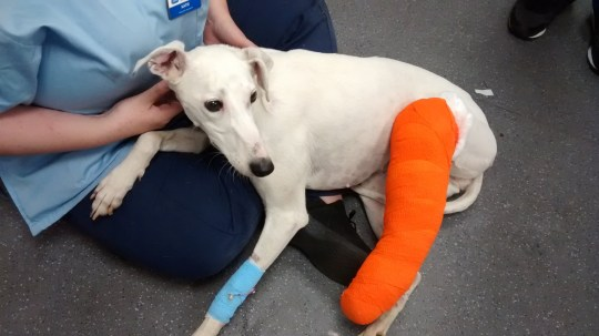 CCTV captures man dumping dog with broken leg on stranger???s doorstep Snow White was dumped on a doorstep with an open fracture in Hertfordshire The RSPCA is investigating after CCTV captured the moment a man dumped a seriously injured dog on a stranger???s doorstep. The animal welfare charity was called to help on Friday night (7 September) after the dog was left on the doorstep. RSPCA inspector Phil Norman went to collect the dog and is now investigating. He said: ???We were contacted by a resident in Flamstead after they heard a noise at around 11pm at night and went to investigate. ???They found the dog left on their doorstep and witnessed a car leaving the scene. ???The dog - a white, female lurcher-type - was very frightened and had a nasty open fracture to one of her rear legs.??? When Inspector Norman arrived to collect the dog the residents had reviewed their CCTV and found images of her being abandoned. ???When the caller looked back over her CCTV she realised she had captured the moment a man heartlessly abandoned her on the doorstep,??? Inspector Norman added. ???The man can be seen walking up the drive with the dog, onto the doorstep, and then turning around to leave the dog behind. He appears to be dressed in dark clothes with white trainers and a white baseball cap on. ???I???d appeal to anyone who recognises him or the dog to get in touch with us on 0300 123 8018. We???d like to hear from anyone who may be able to assist in our enquiries.??? The dog - now named Snow White - is thought to be around four or five years old and is now being cared for by staff at the RSPCA???s Putney Animal Hospital in London. Amanda Rooney, from the hospital, said: ???Snow White has a nasty open fracture to her hind leg and the bone is sticking out, it???s awful. She???s been on painkillers while x-rays and tests are carried out. ???We???re hoping to save the leg by repairing the break with a metal plate but we???re