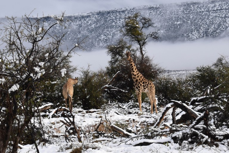 **PICTURES SIGNED EXCLUSIVELY TO CATERS - MANDATORY BYLINE** Pic by Kitty Viljoen/Caters News - (Pictured: Snow has fallen in Sneeuberg on the Western Cape of South Africa giving an unusual sight as giraffes, elephants and deer peer out from the snowy surroundings. Pic taken 08/09/2018)-These bizarre images show giraffes, elephants and antelopes trudging through thick SNOW after freak storms hit the African savannahs.The safari animals usually pictured in searing temperatures were snapped braving the frost after thick flurries fell across a game reserve in the Sneeuberg Mountains on South Africas Eastern Cape on Saturday (September 8). SEE CATERS COPY