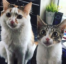 """Jessie (l) and Buzz (r) the cats who have died. See SWNS copy SWCATS: Police are investigating after NINE cats in one small town have died after being poisoned with Antifreeze in just two weeks. Devastated pet owners say their cats were left """"screaming in pain"""" after losing their ability to walk and violently vomiting up poisoned tuna. Four cats in Kingswood, near Bristol, have passed away from ingesting the toxic substance in the past week. Arron Johnson and his wife said two of their cats, Buzz and Jessie, died from poisoning."""