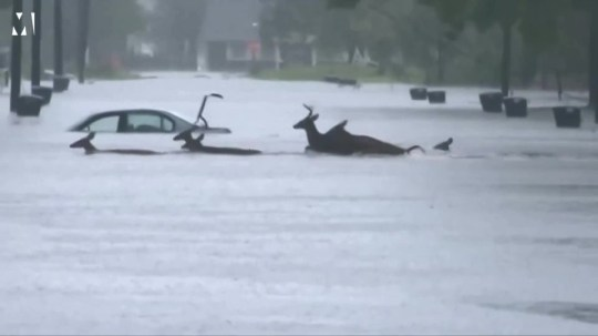 Herd of deer rush to safety during Hurricane Florence Picture: METROGRAB