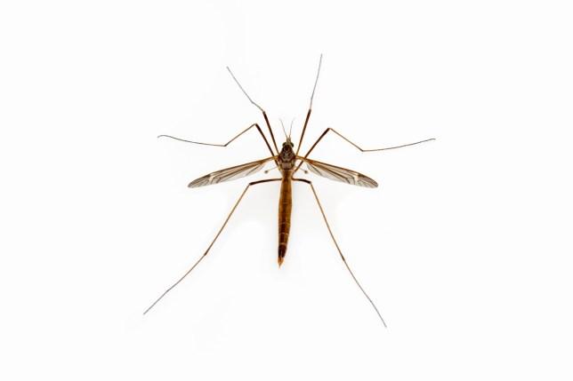 Crane Fly (Tipula (Lunatipula) texanus) male, Texas, USA
