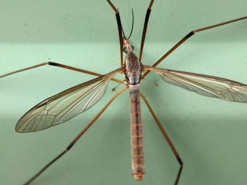 Why are there so many daddy long legs around and are they actually poisonous?