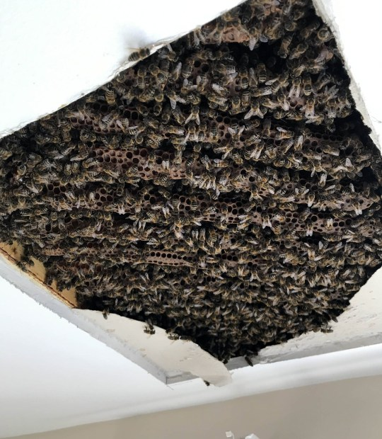 SKIN-crawling video shows the moment 40,000 bees were removed from a ceiling in student accommodation. A total of 55kgs of honey and wax was also taken from the massive colony which grew in the space between two floors. The clip, filmed in Brighton, shows bee expert Adam Strawson in the process of vacuuming up the insects, which were safely moved to a nearby apiary. The colony was discovered by the horrified owner of the property after a student moved out. It is thought the bees got in during the summer of 2017. Adam Strawson, founder and beekeeper at Brighton-based Aecre Honey, carried out the eight-hour removal job on September 17.