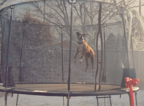 John Lewis Christmas advert comes to life as fox bounces on trampoline in heart-warming video