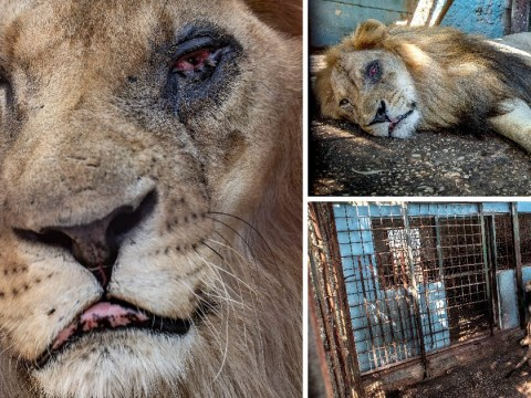 Injured animals pace in their cages at 'safari park from hell'