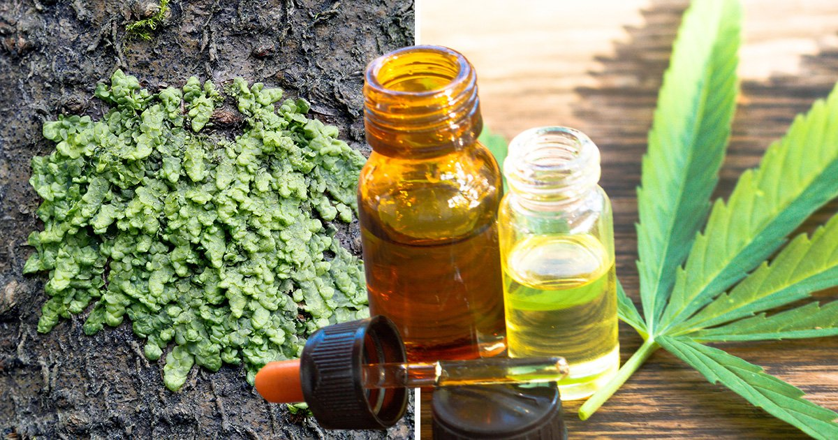 Rare moss 'could be more effective than medicinal cannabis'