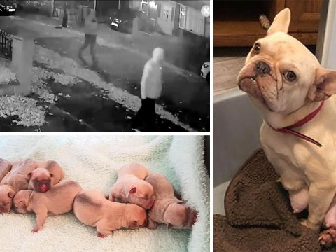 Six out of eight puppies dead after dogsnappers held knife to pregnant mum's stomach