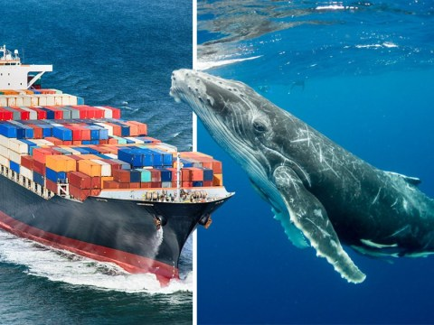 Humpback whale song is being drowned out by noisy cargo ships