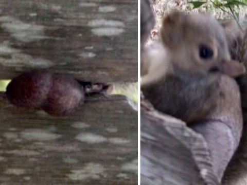 Squirrel gets stuck on fence by its nuts