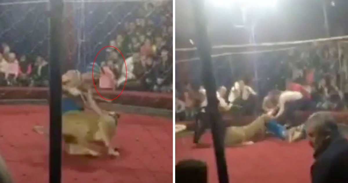 Lion attacks girl, 4, and bites her face at circus