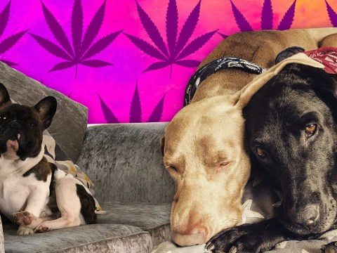 British animal lovers are giving cannabis oil to their pets – even though it is illegal