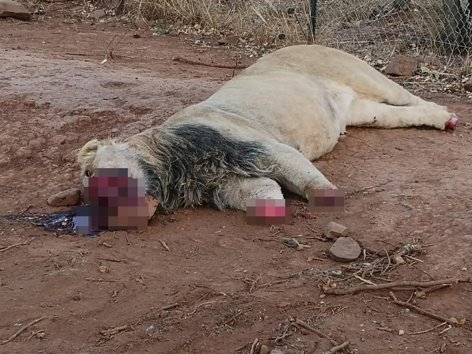 Poachers poisoned five lions and brutally mutilated one at a South African predator park this week. The horrific incident occurred on Monday night at Akwaaba Predator Park near Rustenburg, some 80 miles west of Johannesburg in the northeast of the country. The poachers broke into the park and had begun to mutilate a male lion called Mufasa.