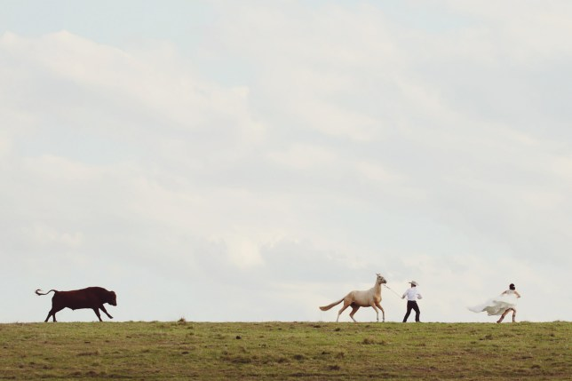 MERCURY PRESS. 04/10/18. Pictured: Amy and Glen were chased by a bull whilst trying to get nice photos walking across a paddock. A bride and groom had their idyllic hilltop wedding photos dramatically interrupted as they suddenly had to flee from a charging bull. Newlyweds Glen McKey, 27, and Amy McKey, 24, tied the knot at their ranch in Woodenbong, New South Wales, Australia, on September 29. After exchanging their vows and posing with their wedding party, the couple's photographer asked Glen and Amy to wander across the ridge of a hill with a palomino horse, thinking it would make a dreamy wedding snap. SEE MERCURY COPY
