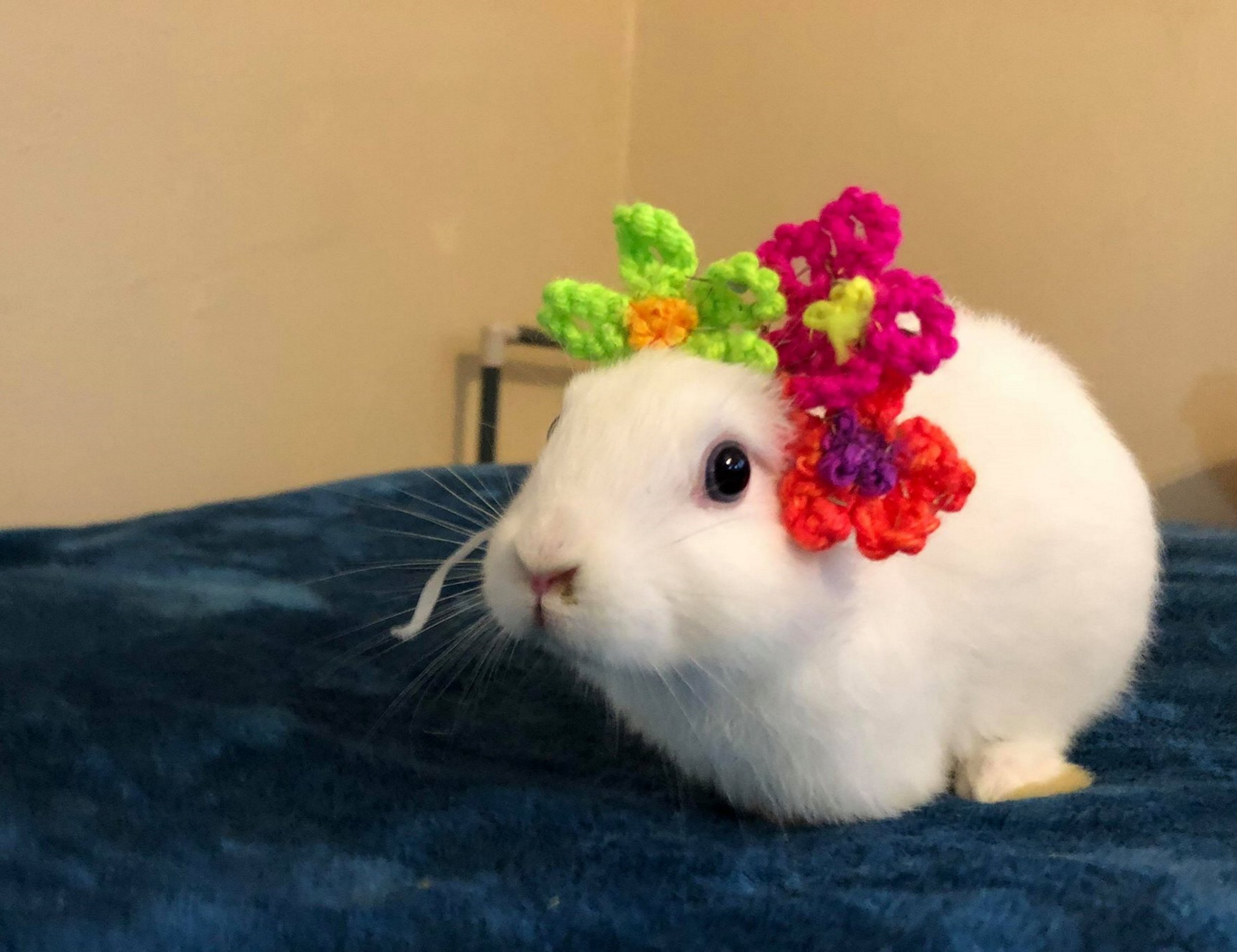 PIC FROM Kennedy News and Media (PICTURED: ADORABLE MIMI THE BUNNY WEARING HER NEW KNITTED FLOWER HEADBAND) A tiny bunny born with NO EARS can now live 'hoppily ever after' - as her caring adoptive owner KNITTED her a pair out of wool. Mimi, the seven-week-old runt of her litter, is completely deaf and has only three legs, but thanks to Rodajia Welch, 22, and her wool ears, the rabbit can 'be whoever she wants to be'. To make sure she feels as fabulous as her furry siblings, Rodajia knitted an impressive collection of woollen ears after being inspired by cosplay - in which people dress up in flamboyant outfits.SEE KENNEDY NEWS COPY - 0161 697 4266