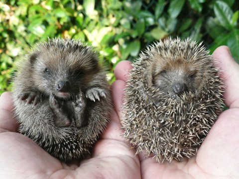 An all day hedgehog festival is coming to London