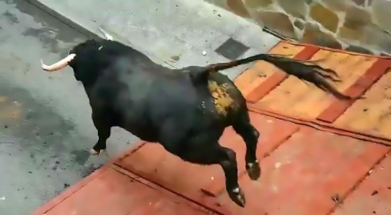 """Pic Shows: The moment the bull jumps; This is the moment a huge bull is left dragging itself across the ground after breaking its legs during a festival in Spain. The footage was recorded in the village of Mejorada del Campo, near the Spanish capital Madrid and has been shared by the Animalist Party Against the Mistreatment of Animals (PACMA). In the video, a bull can be seen getting out of its transportation cage before being used for a bull running event in the village. The bull leaps from the cage down onto the street, breaking its legs on impact with the concrete, according to reports. The animal can then be seen using its front knees to drag itself across the ground with its back legs completely limp. Reports suggest those responsible for the bull had placed the ramp too high off the ground for the bull to get down safely. PACMA have now reported the incident to the authorities as a case of animal abuse and have asked social media users to support a petition for a change in animal protection laws in Spain. The video has received over 344,000 views online and netizens were outraged at the footage. User ???guildrevenge??? commented: """"How long are we going to continue supporting this?"""" And ???cocacolaenlucha??? added: """"When abuse of animals is the protagonist of having fun there is only one clear idea and it is that we have a lot of developing to do as a species."""" However, other netizens disagreed such as ???EgGarcia99??? who commented: """"Breaking its legs is not people???s fault as it could have broken them there or in a field."""" It is unclear if the authorities are investigating the case. It is also unclear if the bull was put down."""