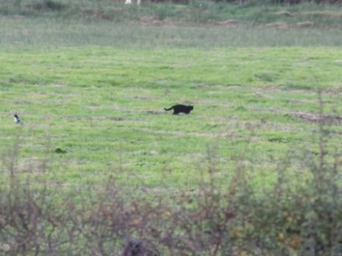 'Panther' on the loose in Scotland looks suspiciously like a 'large black cat'
