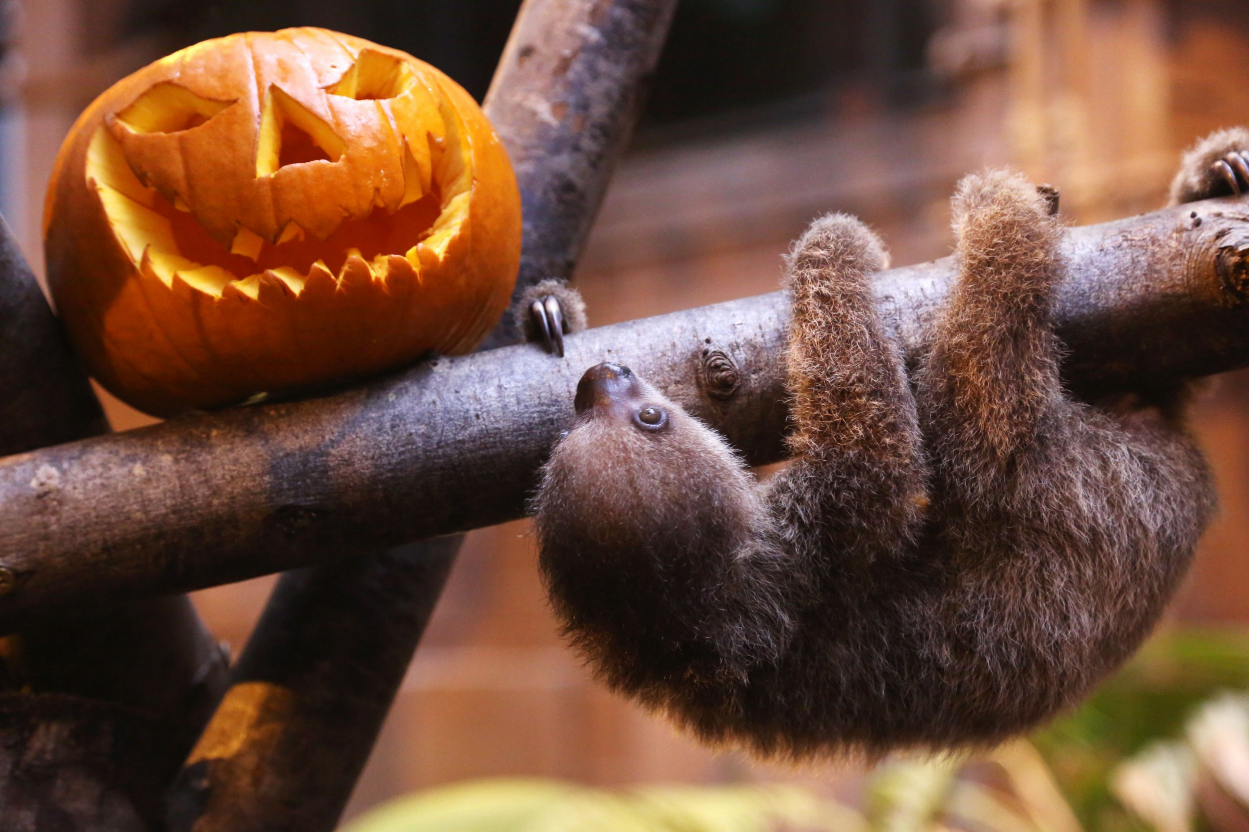 """CREDIT: ZSL/REX Shutterstock. Only for use in this story. Editorial Use Only. No stock, books, advertising or merchandising without photographer's permission Mandatory Credit: Photo by ZSL/REX/Shutterstock (5293674d) Two-toed sloth (Choloepus didactylus) baby with Halloween pumpkin Two-toed sloth baby celebrates first Halloween, London Zoo, Britain - 23 Oct 2015 ZSL London Zoo?s resident two-toed sloth (Choloepus didactylus) baby celebrated his first Halloween today (23 Oct), with a special pumpkin carved by his keepers. The infant, who will turn five months old on Halloween itself, is being hand-reared by zookeeper Kelly-Anne Kelleher after his mum Marilyn stopped producing milk and was unable to feed him. Living up to his species? lazy reputation, Edward, named after the famous movie character because of his scissor-like claws, does everything slowly, including investigating spooky pumpkins. Zookeeper Kelly-Anne Keller said: ?Edward doesn?t do anything quickly, so it took him a while to get up and climb over to take a look at his Jack o? lantern ? but he was really intrigued by the Halloween-inspired gift."""""""