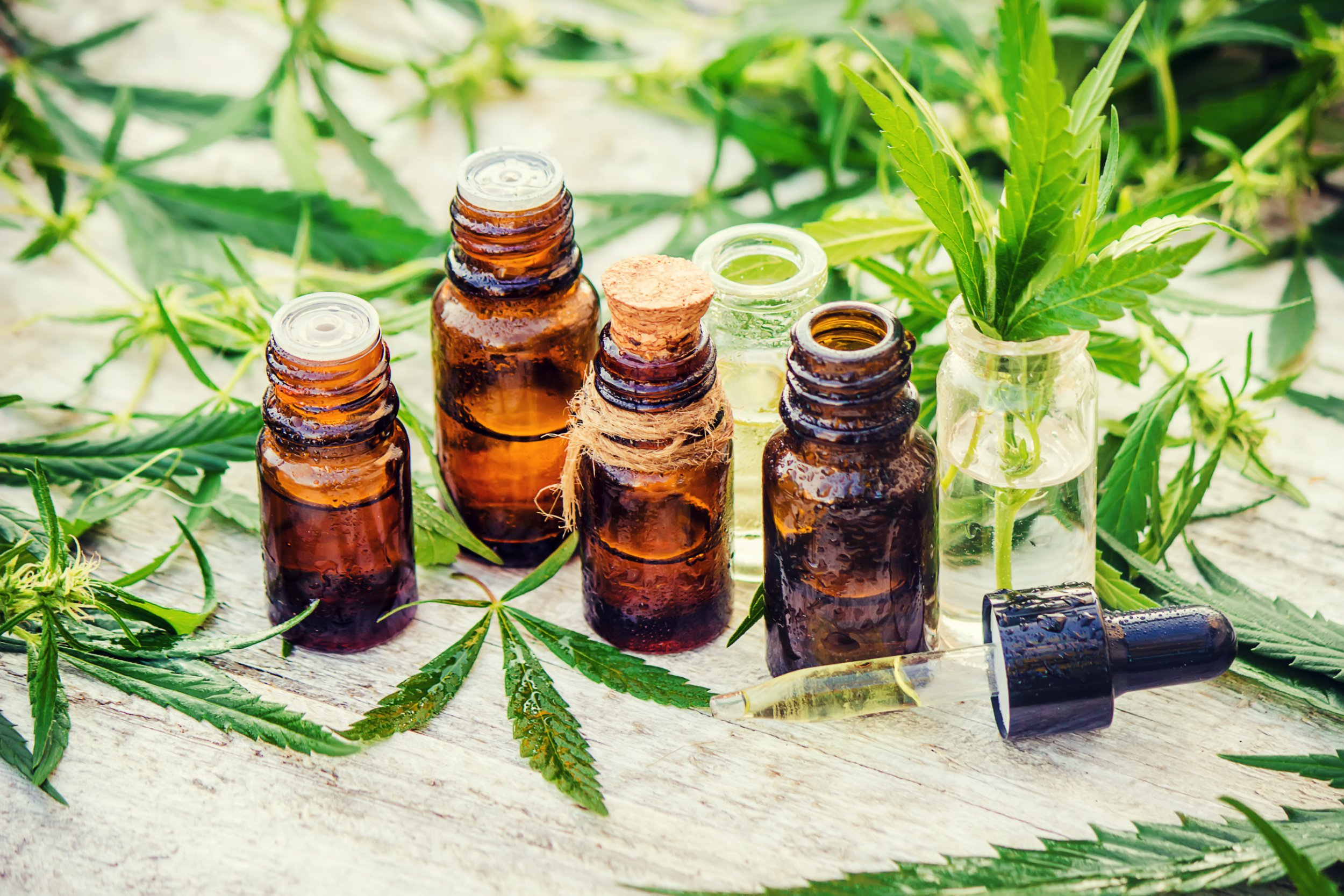 Cannabis herb and leaves for treatment (broth, tincture, extract, oil). Selective focus.; Shutterstock ID 693644017; Purchase Order: -