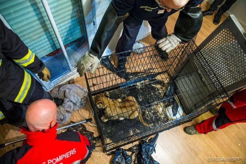 METRO GRAB VIA TWITTER A 30-year-old man has been arrested after a lion cub was discovered in an apartment in the suburbs of Paris. According to French media, police were alerted after the suspect tried to sell the six-week-old female for ???10,000 ($11,470, ??8,835). He was discovered hiding in a cupboard at a neighbour's home on Tuesday, while the cub was found on a child's bed. The animal is said to be in good health and has been handed to wildlife authorities. http://www.pompiersparis.fr/fr/news/actualites/des-bonnes-nouvelles-du-bebe-lion-sauve-en-2017