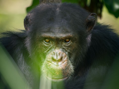 Dynasties episode one: From snake attacks to being pelted with rocks – the secrets behind filming David the chimpanzee
