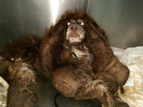 Neglected dog goes through major makeover as 6lbs of matted fur are snipped away