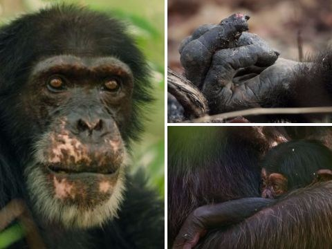 David Attenborough's Dynasties left viewers sobbing over the triumph of David the chimp