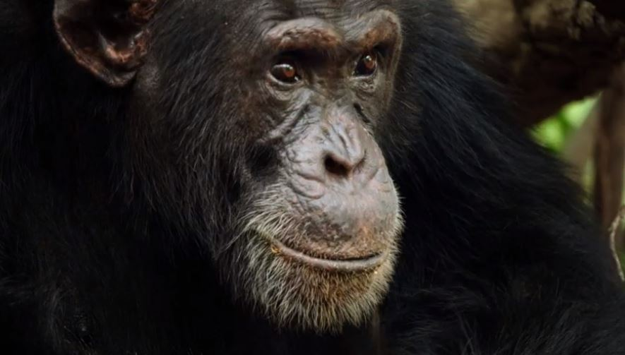 David Attenborough captures brutal power struggle between chimps in Dynasties