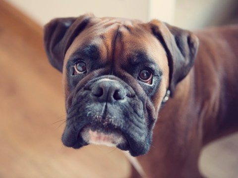 Research reveals the 'naughtiest' breeds of dog