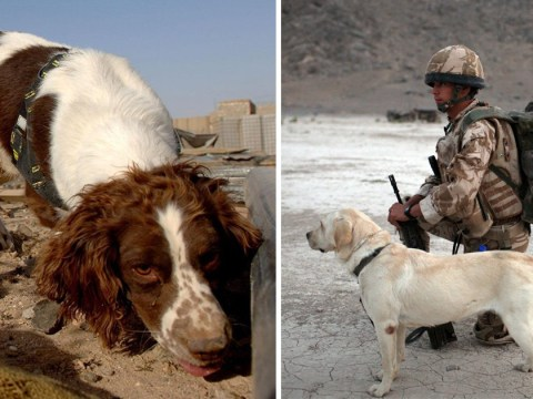 Army puts down 1,000 'old and worn out' dogs after they finish military service